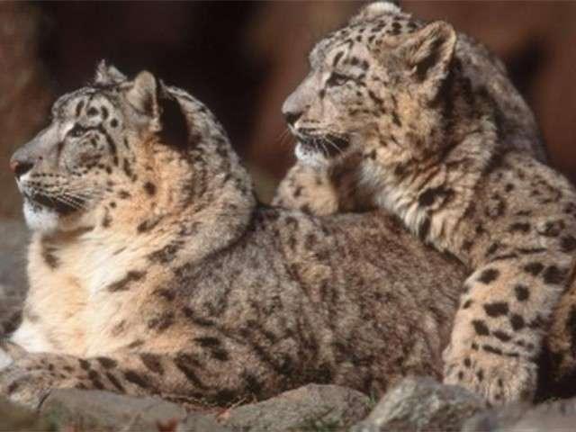 فهود اسود ونمور برية الحيوانات المفترسة feline2.jpg